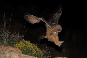 Eagle Owl Videos